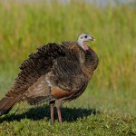 Wild-Turkey-ruffling-feathers-_J7X0371-Indian-Lake-Estates,-FL-
